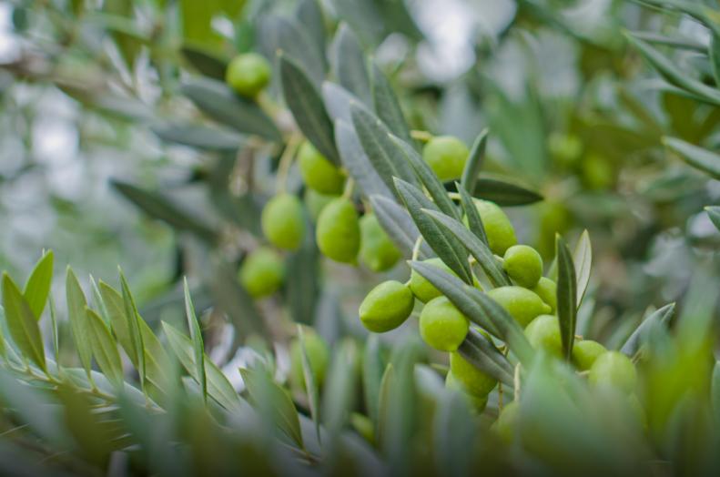 Dnevi kmetijstva v slovenski Istri v znamenju oljke in oljčnega olja